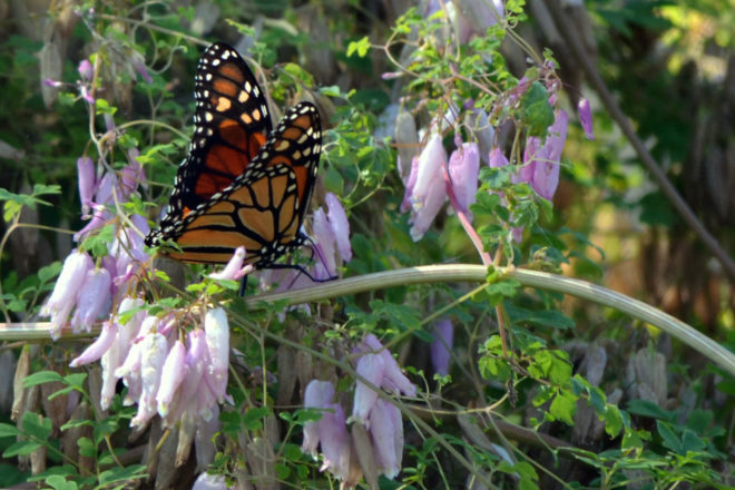 Monarch Migration Stronghold Turns 105