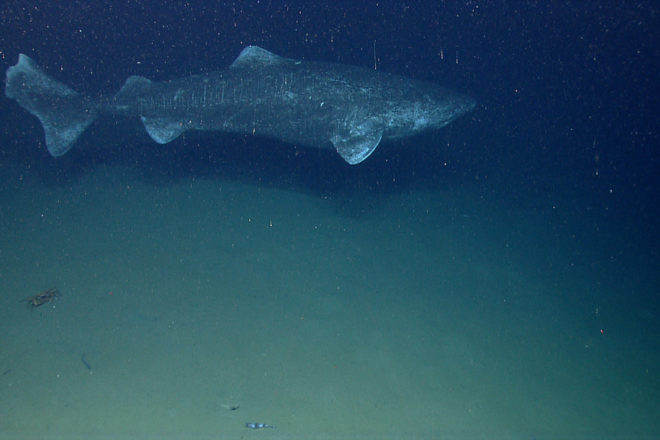 Isherwood: The Greenland Shark