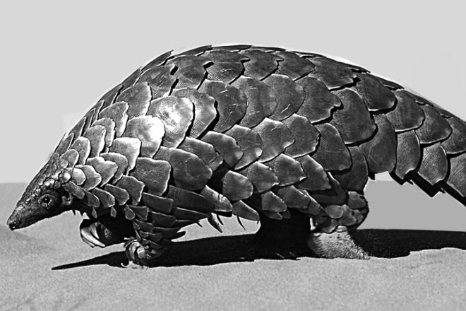 Science Snippet: The Disappearing Pangolins