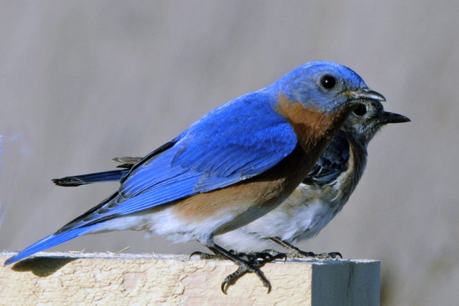 Roy & Charlotte Lukes: Helping Bluebirds