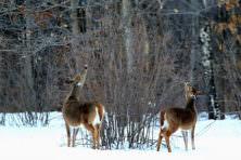 Deer. Jerry Lewis.