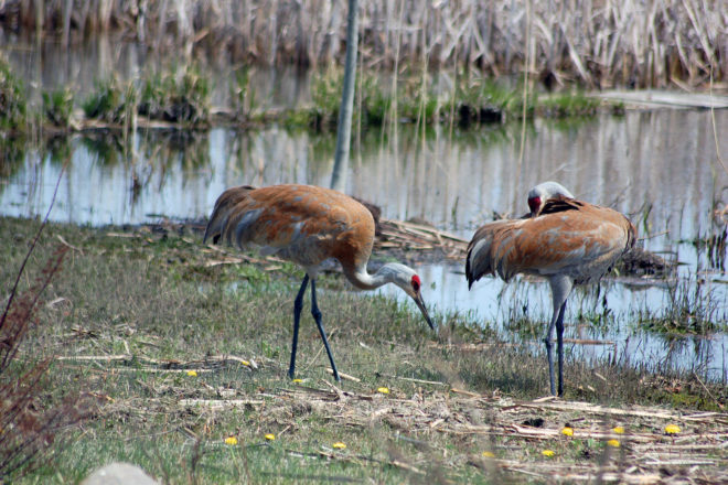 A Festival Of Cranes Bay Nature >> Wisconsin Conservation Congress To Vote Again On Sandhill Crane