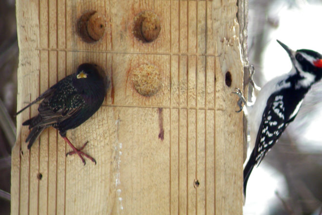 Door to Nature: The European Starling
