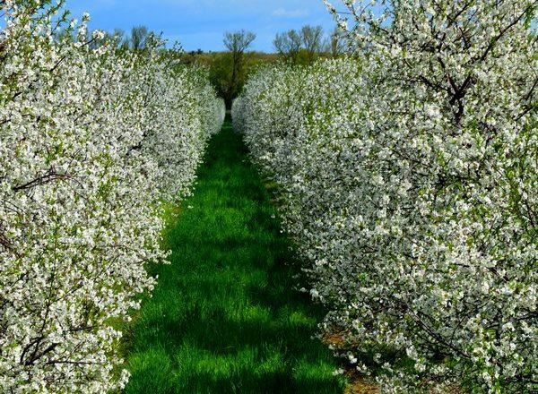 Solid Cherry Crop Expected in Door County