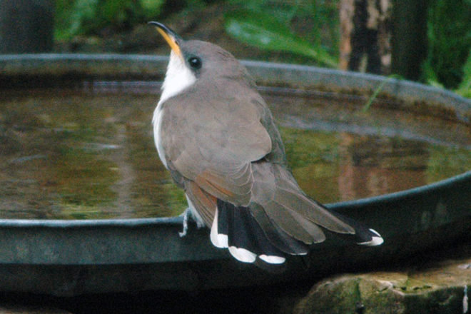 Door to Nature: Our Two Cuckoo Species