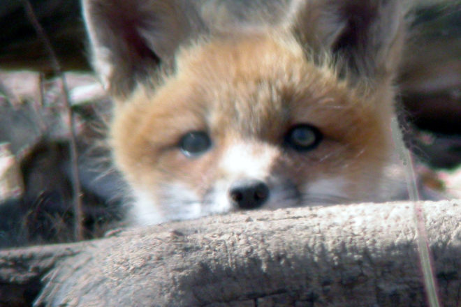Door to Nature: Reynard - Sly Red Fox