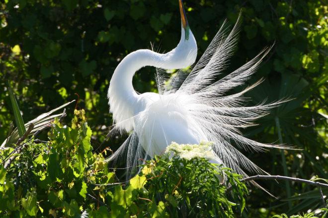 Great egret by John Van Den Brandt.