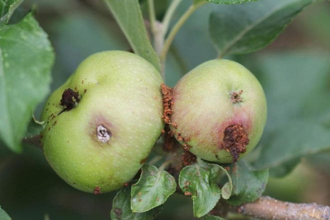 Wormy Apples? Here's Why