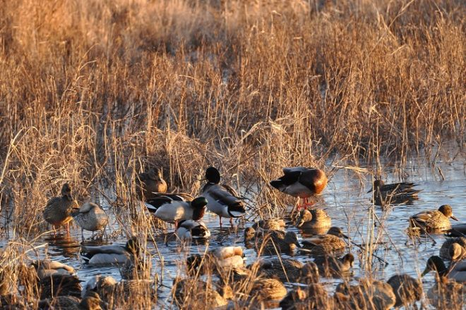 Spring Waterfowl Survey Results Show Good Production Door County Pulse