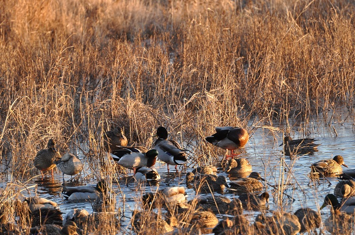 Spring waterfowl survey results show good production door county pulse for Wisconsin exterior goose season