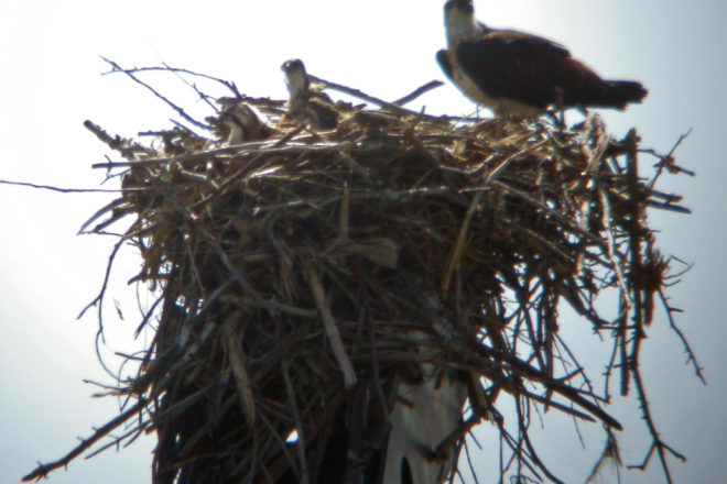 Door to Nature: Where Have All the Ospreys Gone?