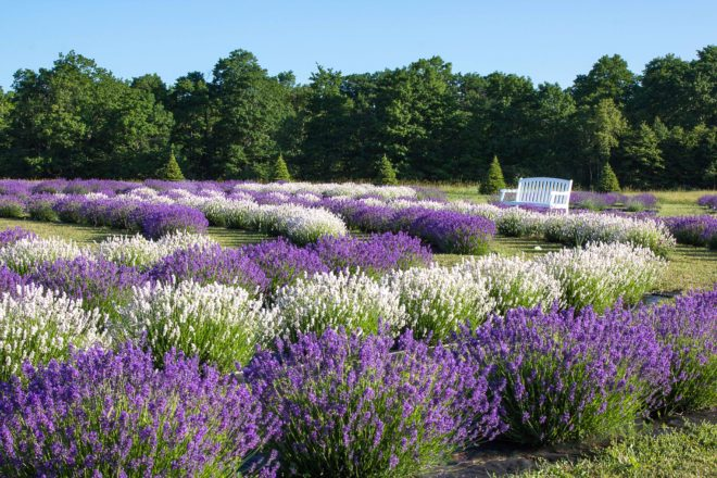 「Lavender Farm:  Washington Island, Wisconsin, USA」の画像検索結果