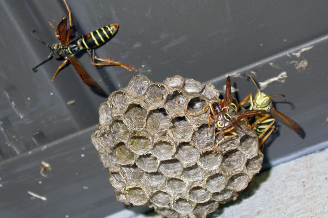 Door to Nature: Wasps and Hornets