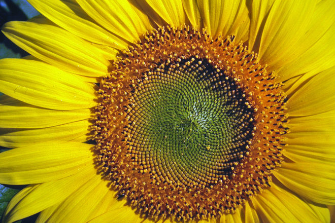 Door to Nature: Plain, Honest and Upright Sunflower