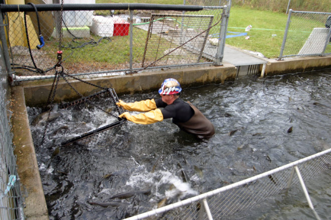 Strawberry Creek Salmon Run Has Far-Reaching Benefits