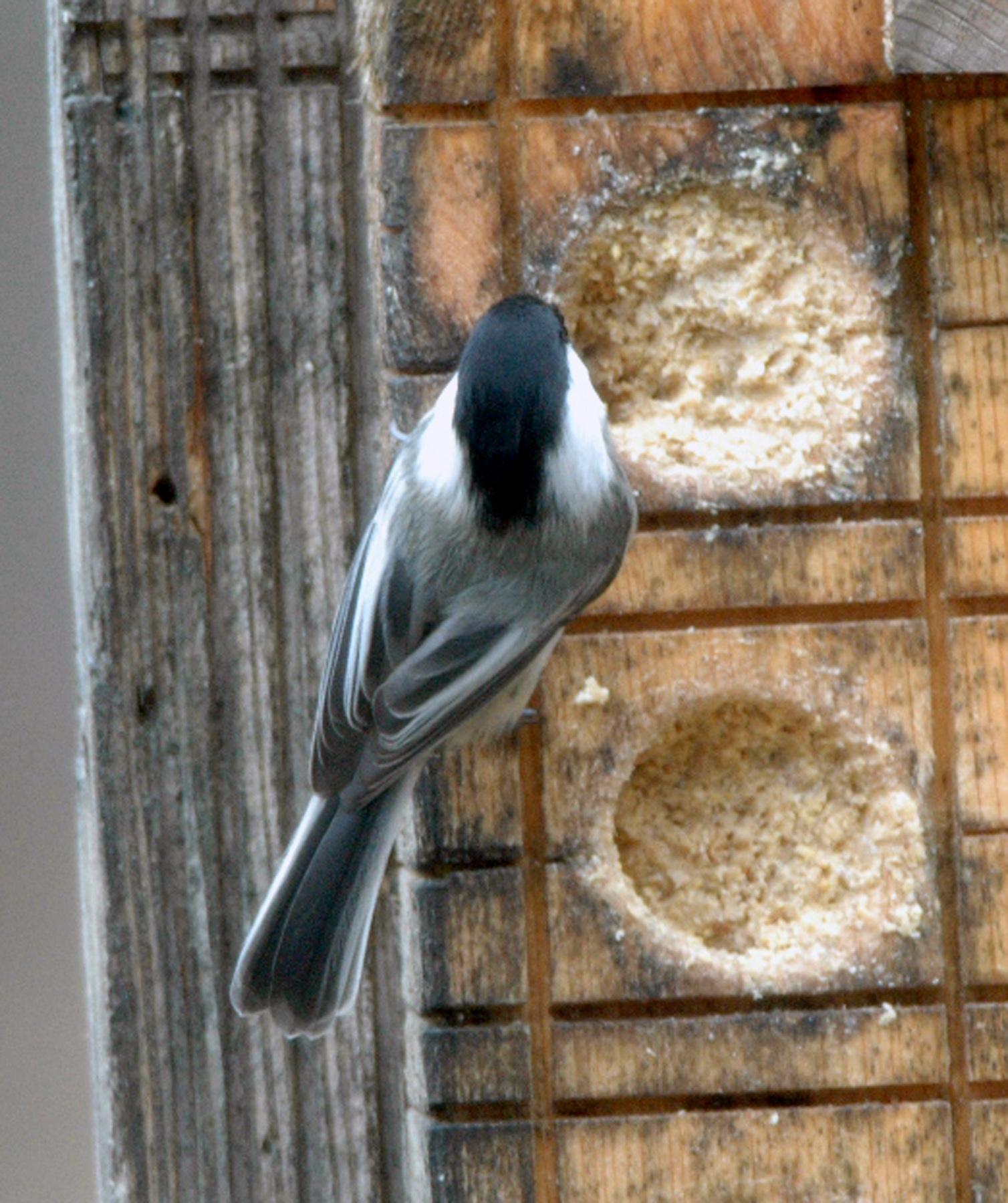 Door to nature cheerful chickadees door county pulse for Cheerful nature