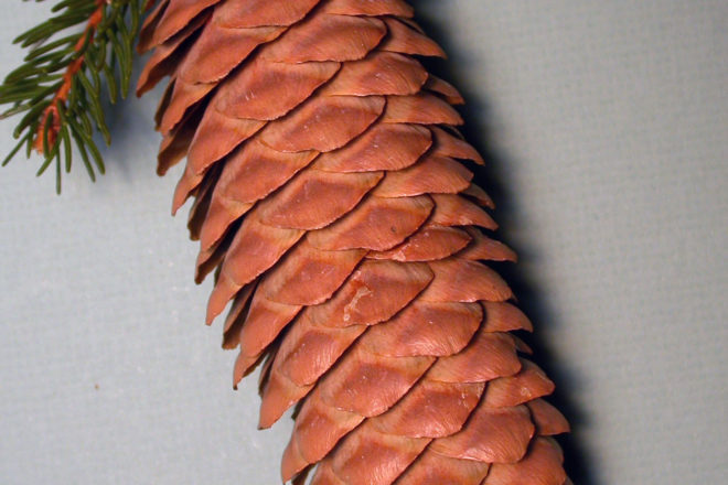Door to Nature The Symmetry of Norway Spruce Cones : spruce door - pezcame.com
