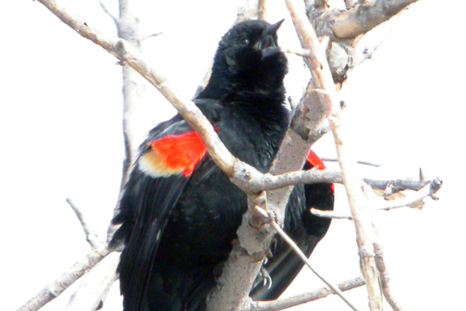 Door to Nature: Red-winged Blackbirds Are Back
