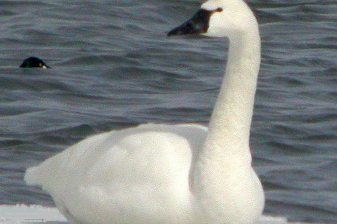 Door to Nature: Whistling Tundra Swans