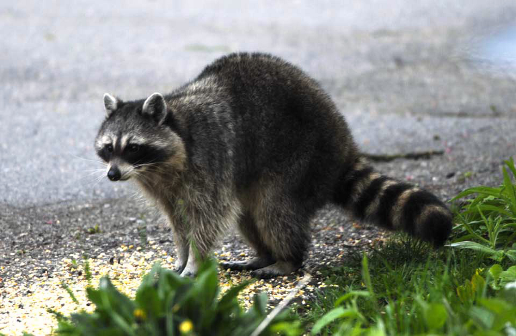 door to nature  raccoons on the move