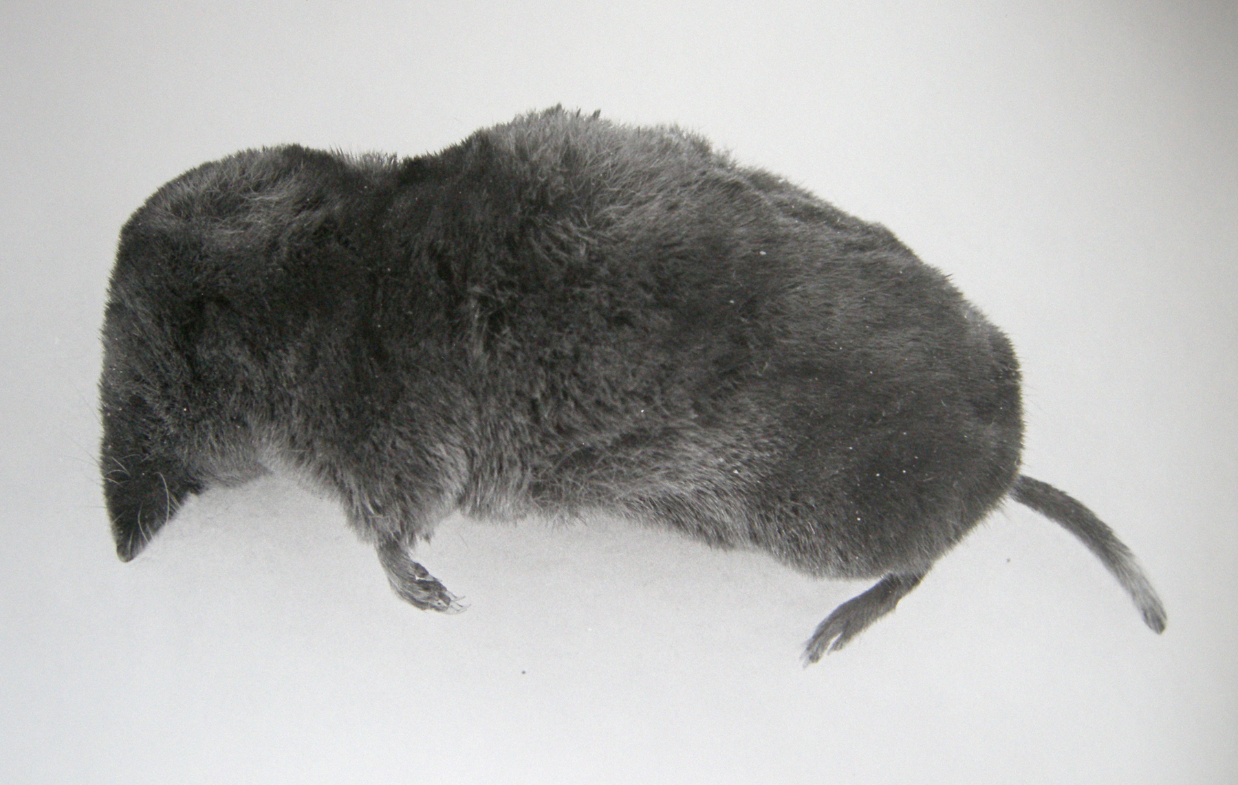 This Dead Short Tailed Shrew Has A Pointed Snout Furry Tail And Very Tiny Ears