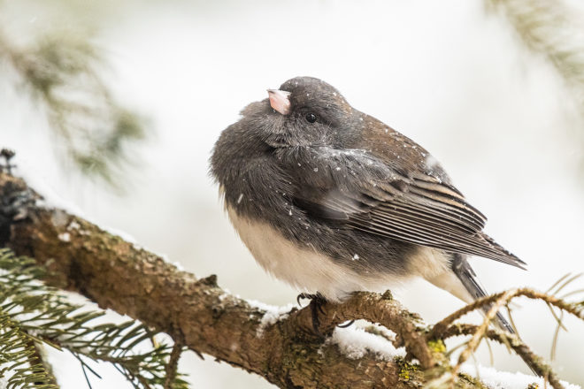 Len Villano's Pic of the Week: Junco in Storm