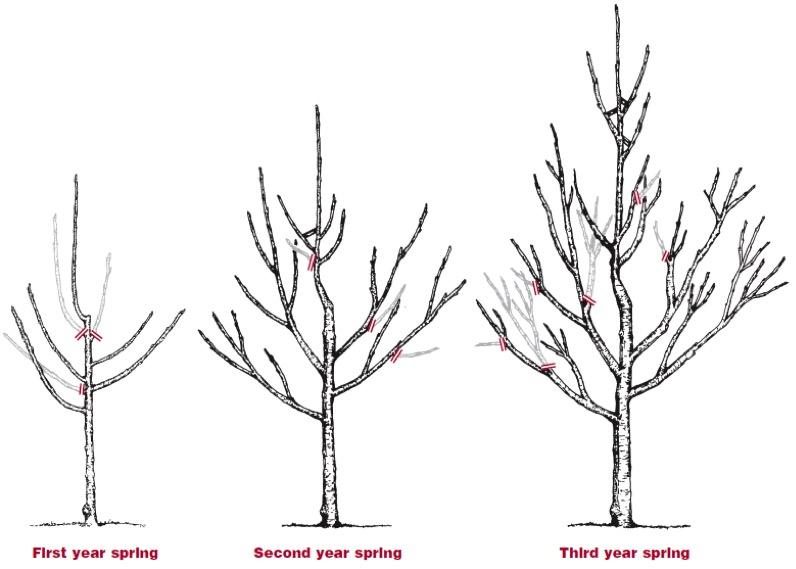 How to Prune Fruit Trees Twentieth Edition