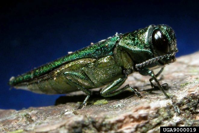Wisconsin Quarantined for Emerald Ash Borer