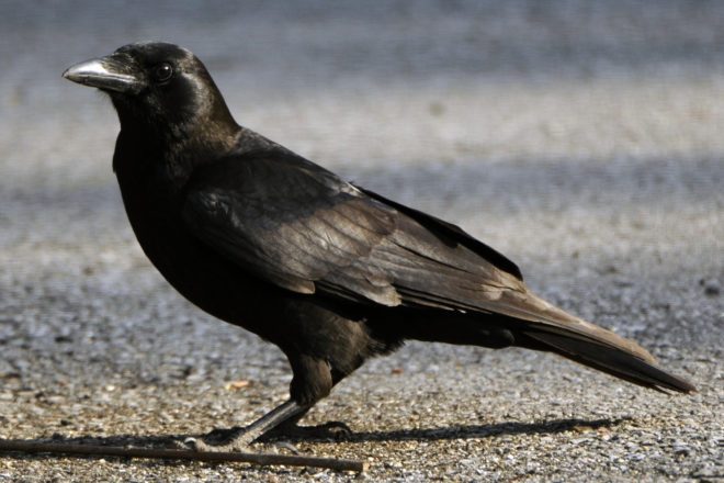 Door to Nature: The Corvid Family of Birds