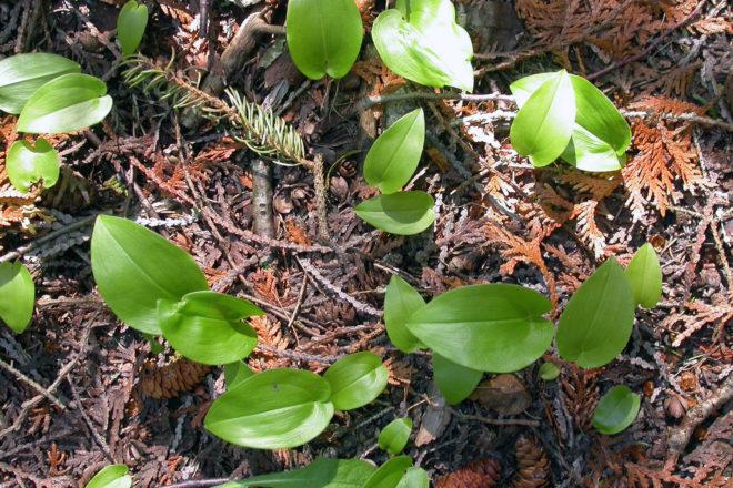 Door to Nature: Canada 'Juneflower' - Door County Pulse