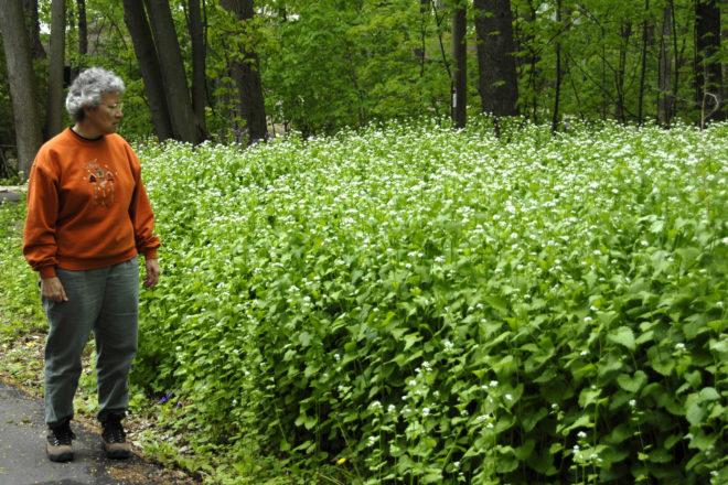 Door to Nature: Garlic Mustard