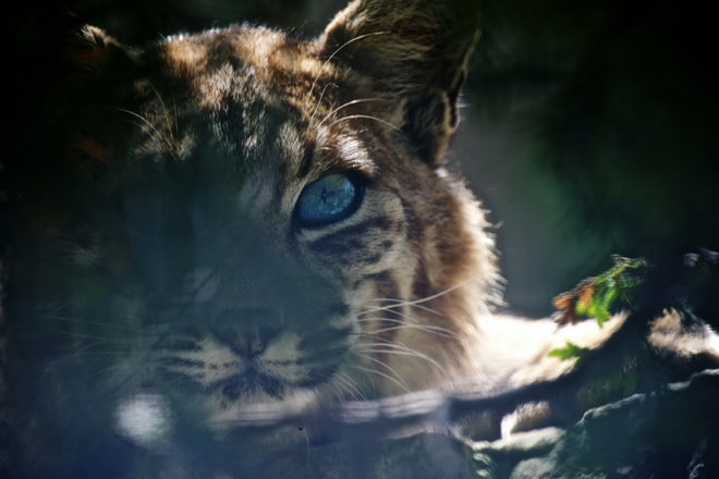 Bruemmer Park Zoo Opens New Home for Bobcats