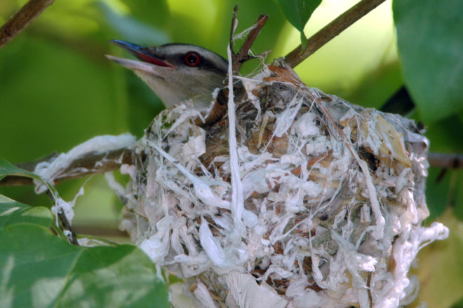 Door to Nature: The Red-eyed Vireo