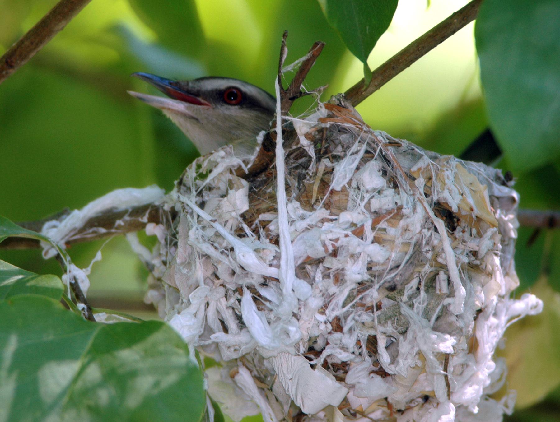Red eyed vireo nest - photo#29