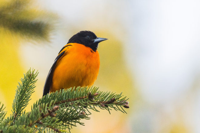 Len's Pic of the Week: Oriole