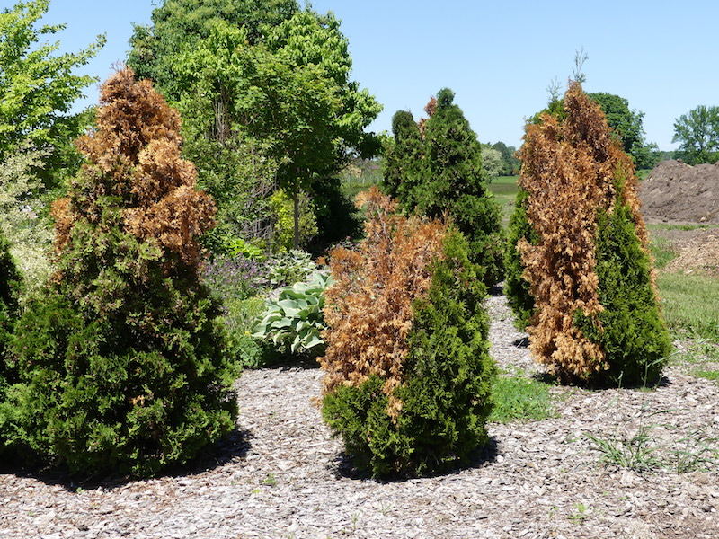 What Is Causing Evergreens To Turn Brown Door County Pulse
