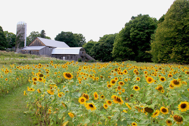 Get Lost in Woodwalk's Sunflower Labyrinth