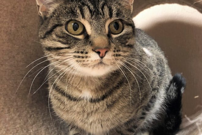 DCHS Featured Pet: Tigra