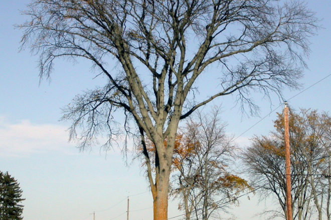 Door to Nature: The Rare American Elm Trees