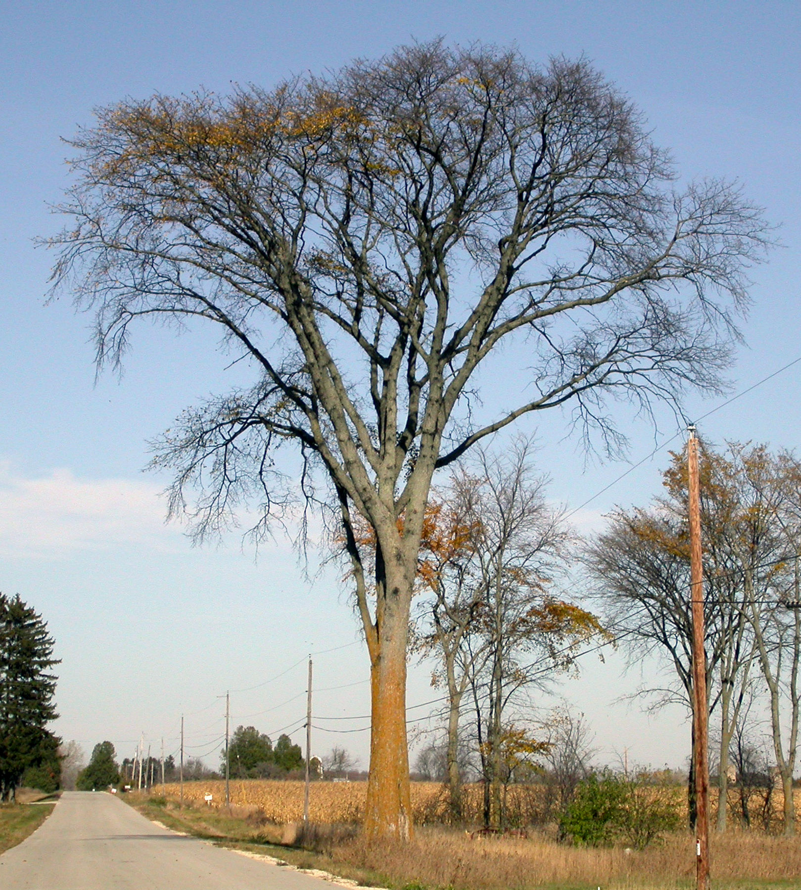 American Elm | MDC Discover Nature