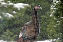 Wild Turkey, Len Villano