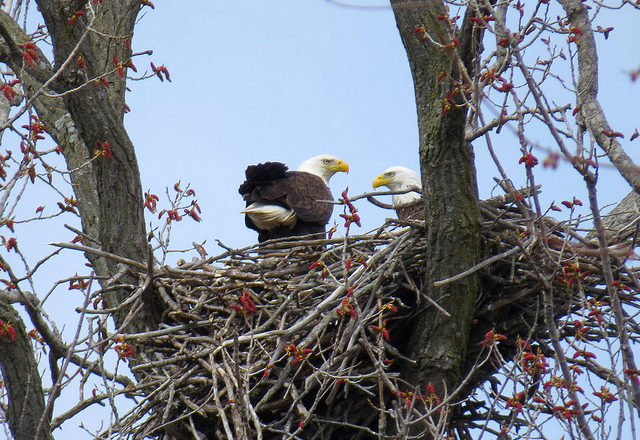Bald Eagle Nests Soar to New Record