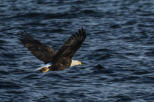 Bald Eagle, Len Villano, Door County