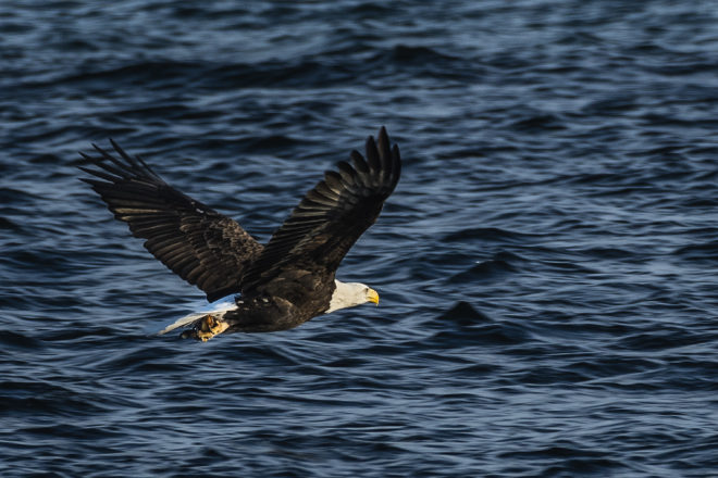 Bald Eagle with Fish: Len's Pic of the Week