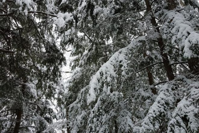 Snow, hemlock, Door County, winter