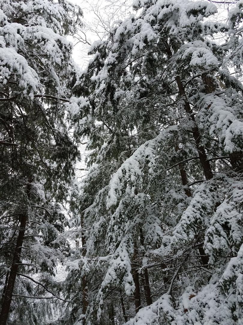 Snow, hemlock, Door County, winter