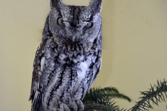 Door to Nature: Eastern Screech Owl