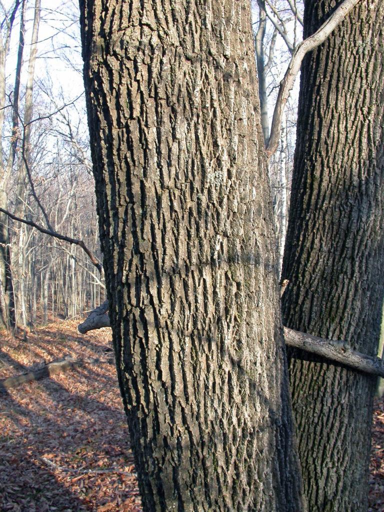 Door to Nature: Ash Trees and the Emerald Ash Borer - Door