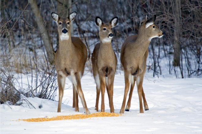 Deer, Wild Turkeys Struggle through Old-Fashioned Winter