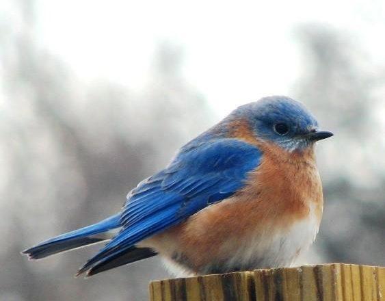 Charlotte Lukes to Discuss Eastern Bluebirds